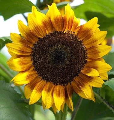 ทานตะวันดอก 2 สี ProCut Bicolor บรรจุ 10 เมล็ด