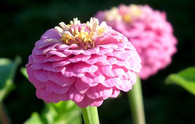 ดอกบานชื่นสีชมพู ซองละ 15 เมล็ด