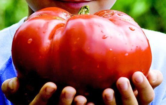 Giant tomato (มะเขือเทศยักษ์)