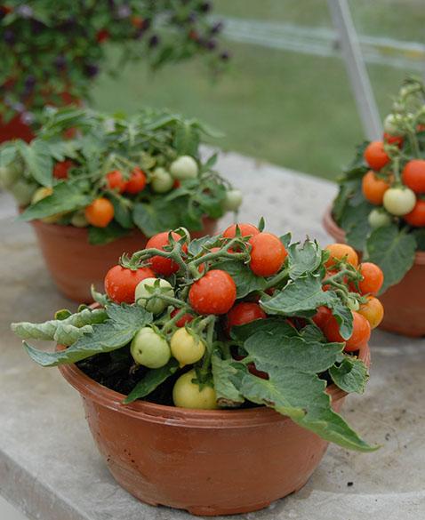 Micro Tom Tomato (มะเขือเทศเตี้ย)