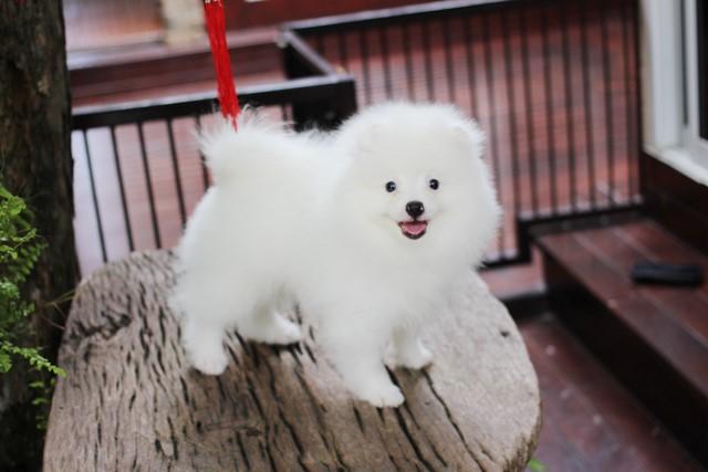 ปอมหน้าหมี เพศผู้ สีขาวครีม หน้าสั้น ฟอร์มสวย ขาใหญ่ สายเลือดดี ขนสวย อายุ 4 เดือนครับ ...แนะนำเข้าชมตัวจริงได้ที่ ลาดพร้าว 101 แยก 46 นัดล่วงหน้าอย่างน้อย 1-2 ชม. ได้ที่ Line : @heropom Tel : 0890888441 นะครับ
