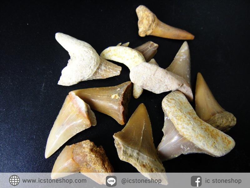 ชุดฟอสซิลฟันฉลามโบราณขนาดเล็ก (บิ่นแตก) (5.0g)