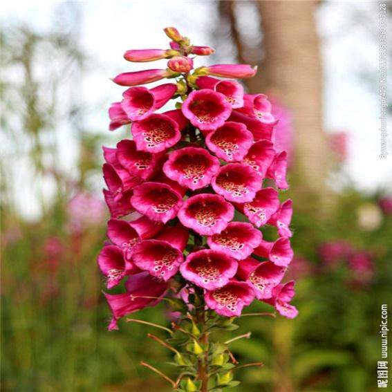 ดอก Foxglove (แดง) / 50 เมล็ด