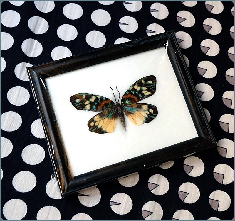 ++ ผีเสื้อสต๊าฟ กรอบผีเสื้อเดี่ยว Day-flying Moth (Erasmia pulchella) ++
