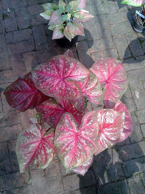 ต้นบอนสี สร้อยแสงแดง ขนาดกระถาง6นิ้ว