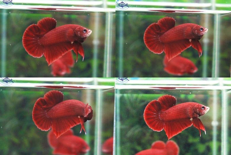 """(ขายแล้วครับ)""""คัดเกรด""""ปลากัดครีบสั้น-Halfmoon Plakats Super Red2"""