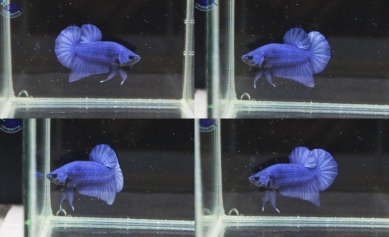 """""""คัดเกรด""""ปลากัดครีบสั้น-Halfmoon Plakats Super Blue"""