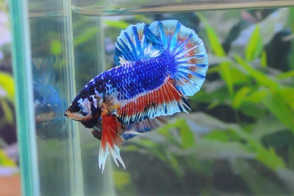 คัดเกรดปลากัดครีบสั้น-Halfmoon Plakat Fancy Dragon Blue Orange