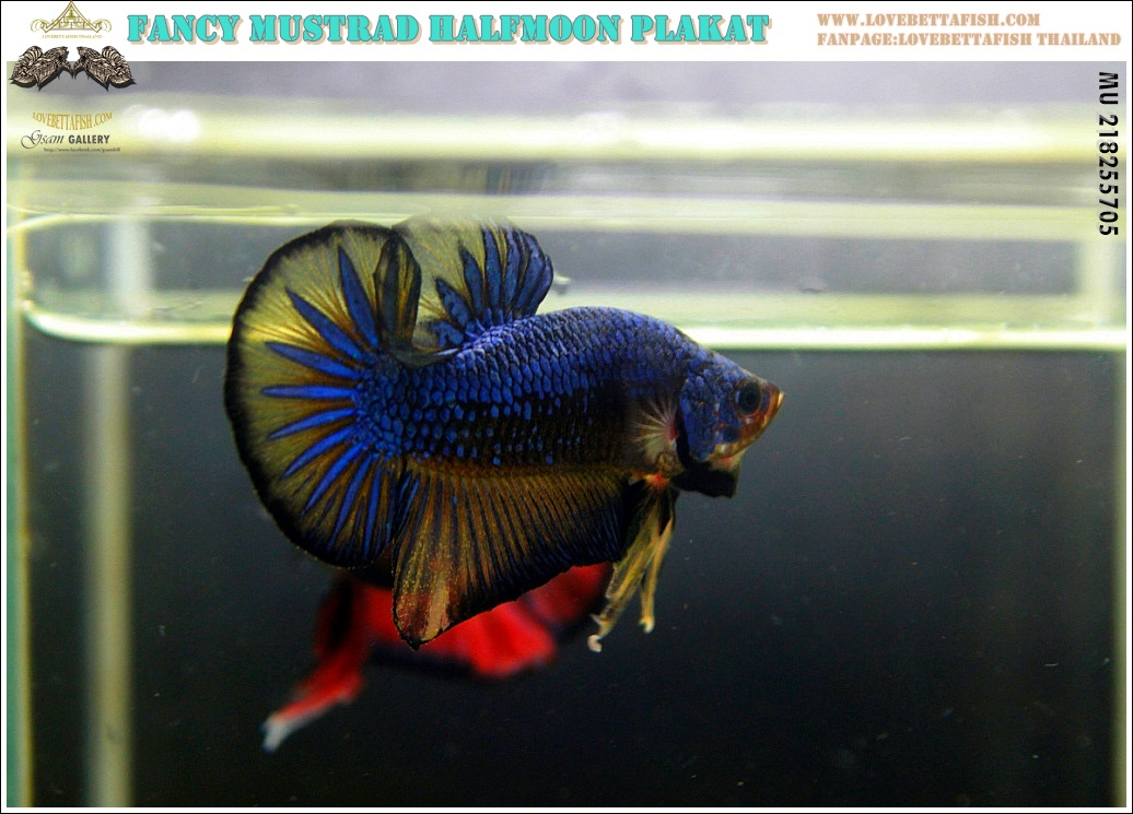 """(ขายแล้วครับ)""""คัดเกรด""""ปลากัดครีบสั้น-Halfmoon Plakats Mustrad"""