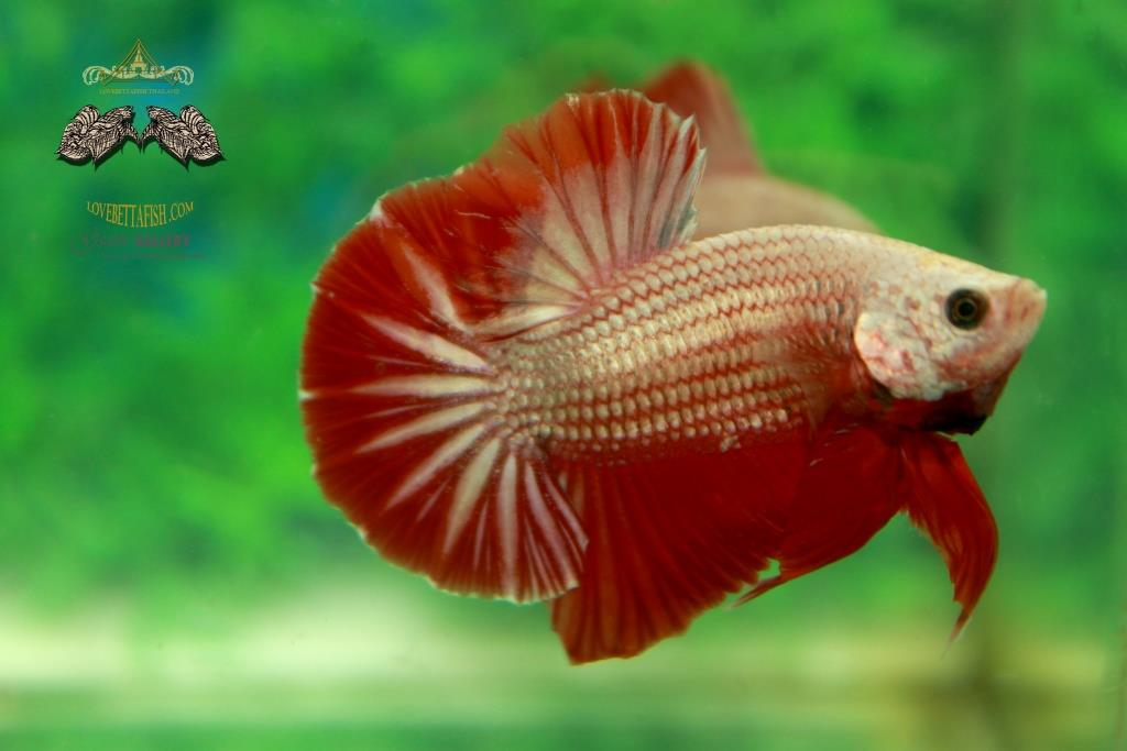 คัดเกรดปลากัดครีบสั้น - HalfMoon Plakad Red Dragon Quality Grade AAA+