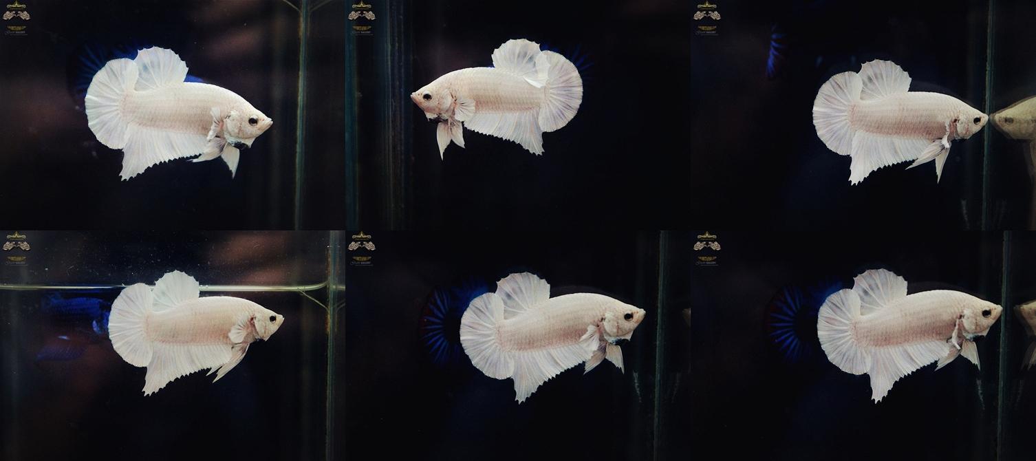 """(ขายแล้วครับ)""""คัดเกรด""""ปลากัดครีบสั้น-Halfmoon Plakats White Platinum"""