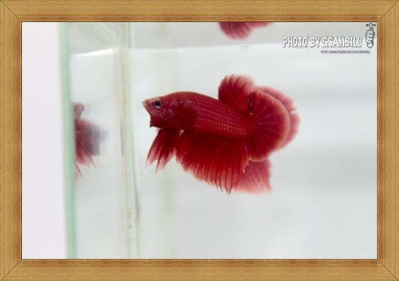 (ขายแล้วครับ)ปลากัดครีบสั้นสีแดง SUPER RED1
