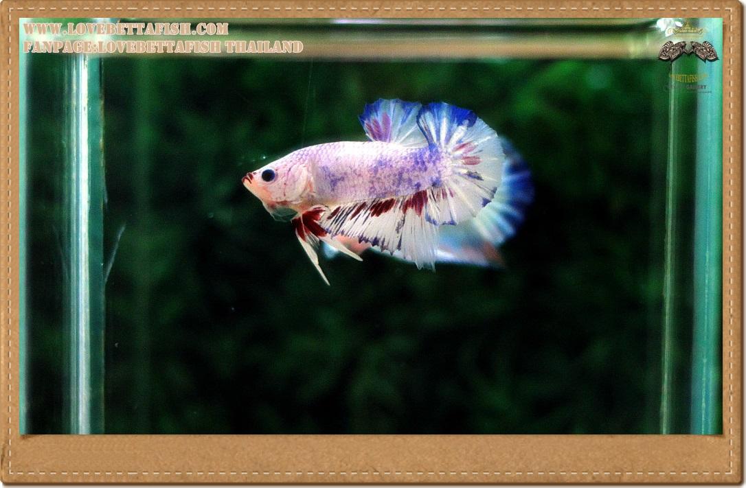 คัดเกรดปลากัดครีบสั้น- Halfmoon Plakat Fancy Dragon