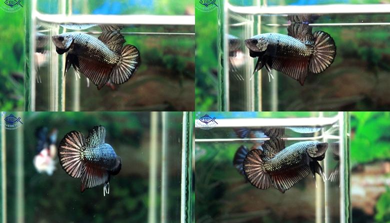 (ขายแล้วครับ)ปลากัดครีบสั้น-Halfmoon Plakats Dragon Copper