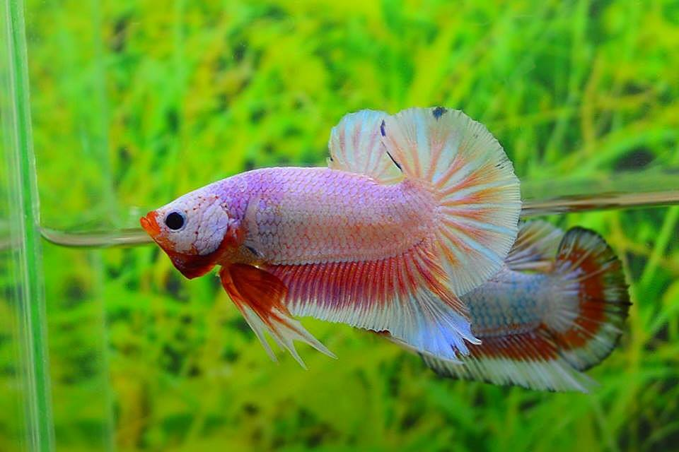 คัดเกรดปลากัดครีบสั้น-Halfmoon Plakat Fancy Dragon Pink