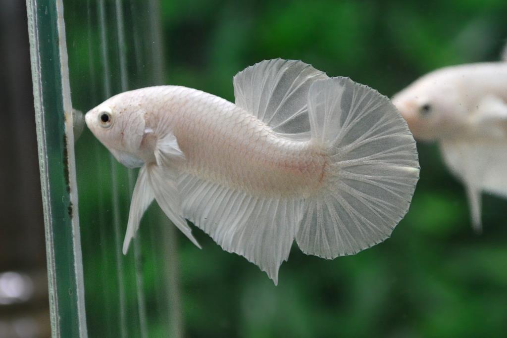 แบ่งพ่อพันธุ์ปลากัดคัดเกรดครีบสั้นเพศเมีย - Halfmoon Plakad Premium Quality Grade White Platinum AAA+