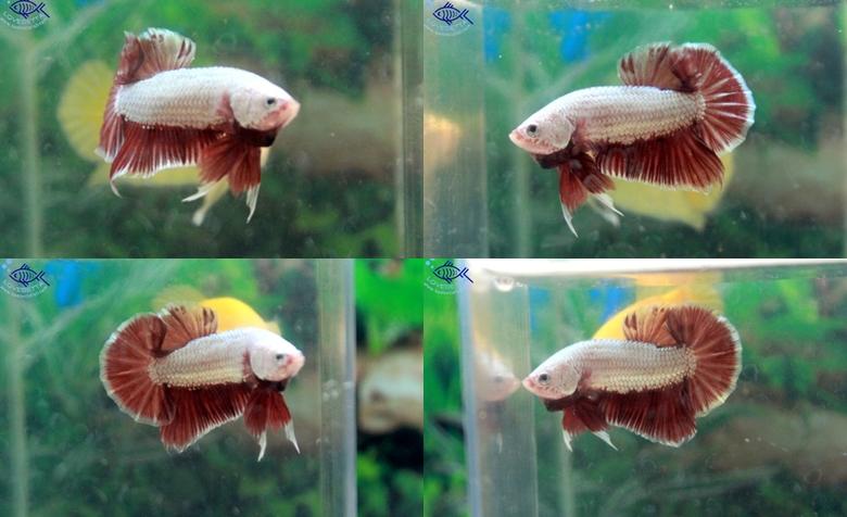 """(ขายแล้วครับ)""""คัดเกรด""""ปลากัดครีบสั้น-Halfmoon Plakats Red Gold Dragon"""
