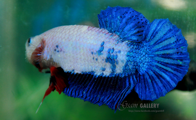 """(ขายแล้วครับ)""""คัดเกรด""""ปลากัดครีบสั้น-Halfmoon Plakats Fancy Dragon Blue"""
