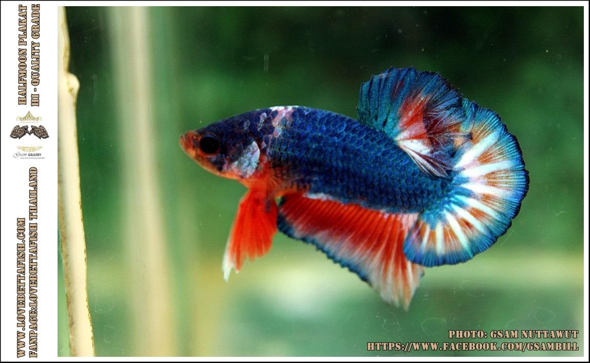 Hi - Premium Grade AAA+ คัดเกรดปลากัดครีบสั้น-Over Tails Halfmoon Plakad Fancy Blue Orange