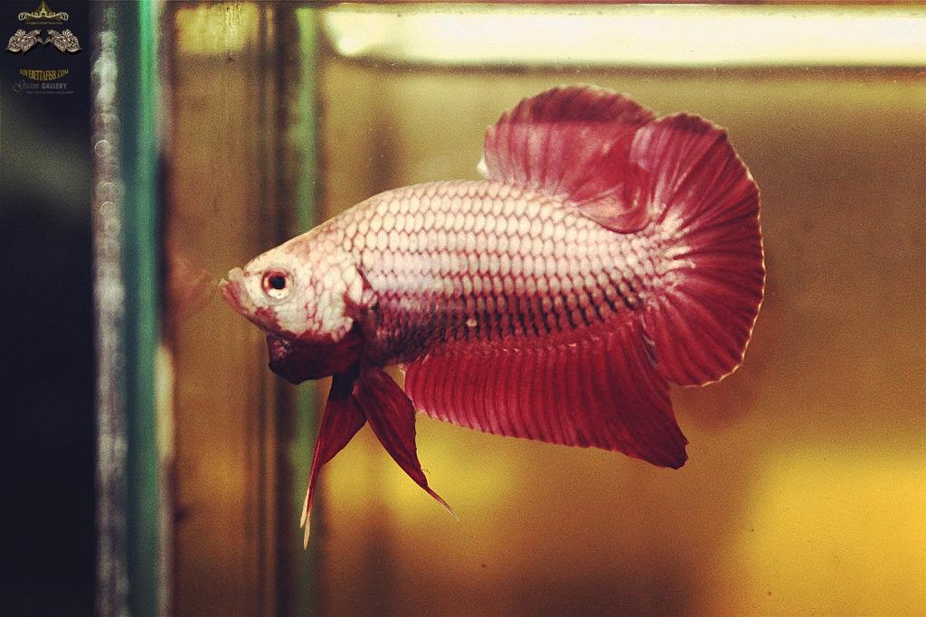 """(ขายแล้วครับ)มังกรแดง""""คัดเกรด""""ปลากัดครีบสั้น-Halfmoon Plakats Red Dragon"""