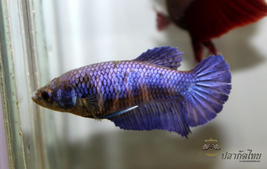 ปลากัดคัดเกรดครีบสั้นตัวเมีย - Halfmoon Plakad Super Blue Premium Quality Grade