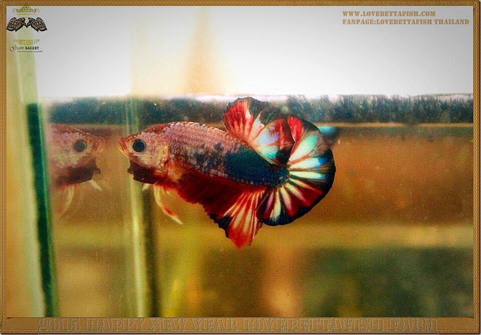 ปลากัดครีบสั้น-Halfmoon Plakat Fancy Dragon
