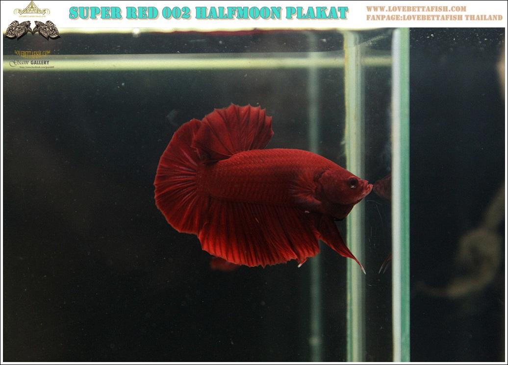 """(ขายแล้วครับ)""""คัดเกรด""""ปลากัดครีบสั้น-Halfmoon Plakats Super Red 002"""