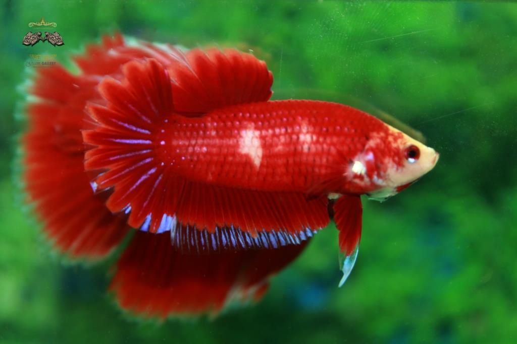 ปลากัดครีบสั้นหางพระจันทร์ครึ่งดวง - Halfmoon Plakad Fancy Red Betterfly