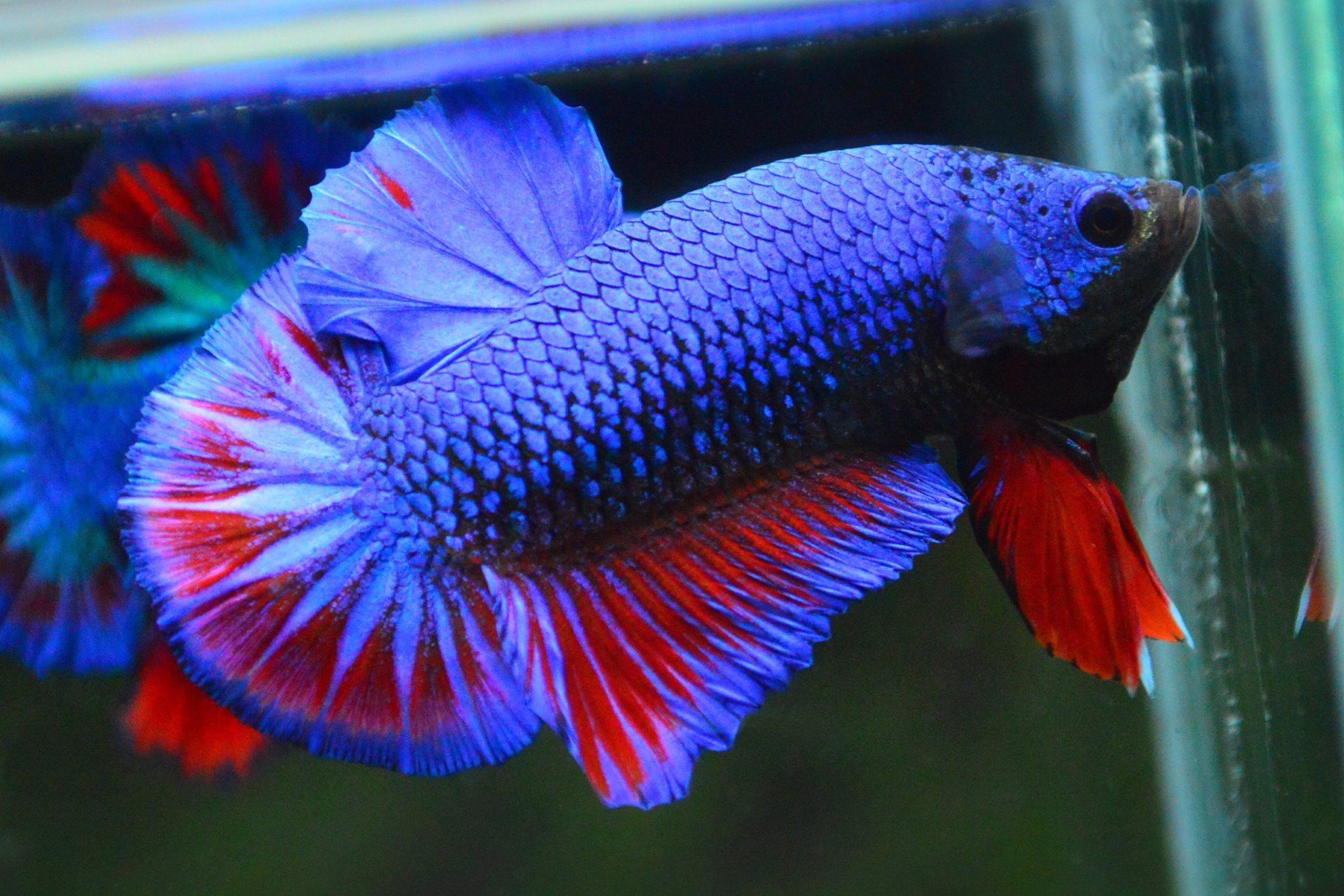 คัดเกรดปลากัดครีบสั้น-Halfmoon Plakad Fancy Dragon ฺBlue Red Qaulity Grade