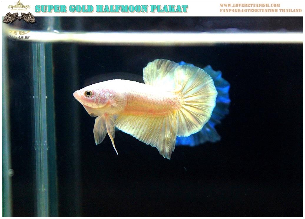 """(ขายแล้วครับ)""""คัดเกรด""""ปลากัดครีบสั้น-Halfmoon Plakats Super Gold"""