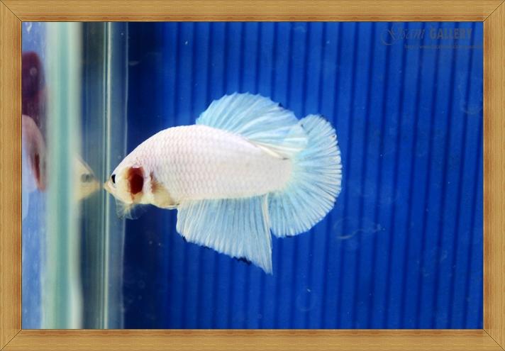 ปลากัดครีบสั้น - Halfmoon Plakats White Dragon