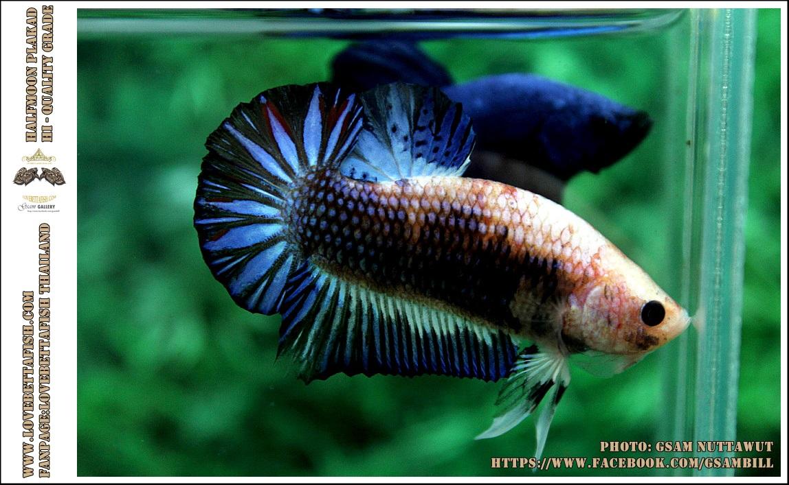 คัดเกรดปลากัดครีบสั้น-Halfmoon Plakad Fancy Dragon