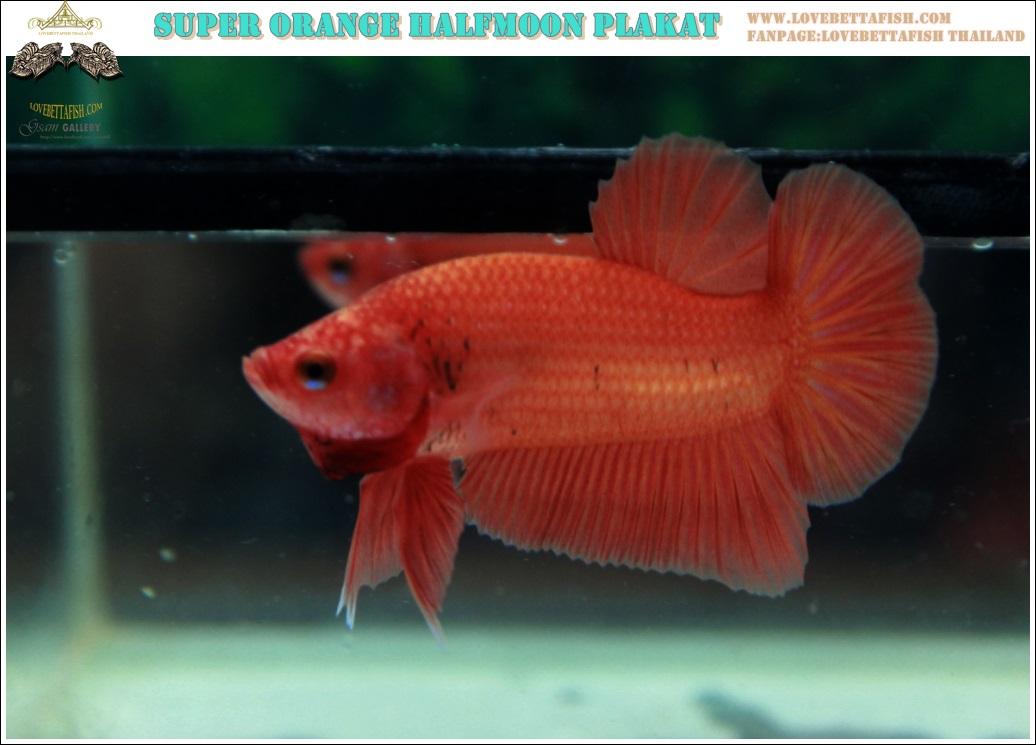 """(ขายแล้วครับ)""""คัดเกรด""""ปลากัดครีบสั้น-Halfmoon Plakats Super Orange"""