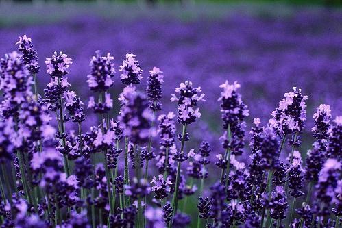 Lavender Fragrance ลาเวนเดอร์ (1 kg)