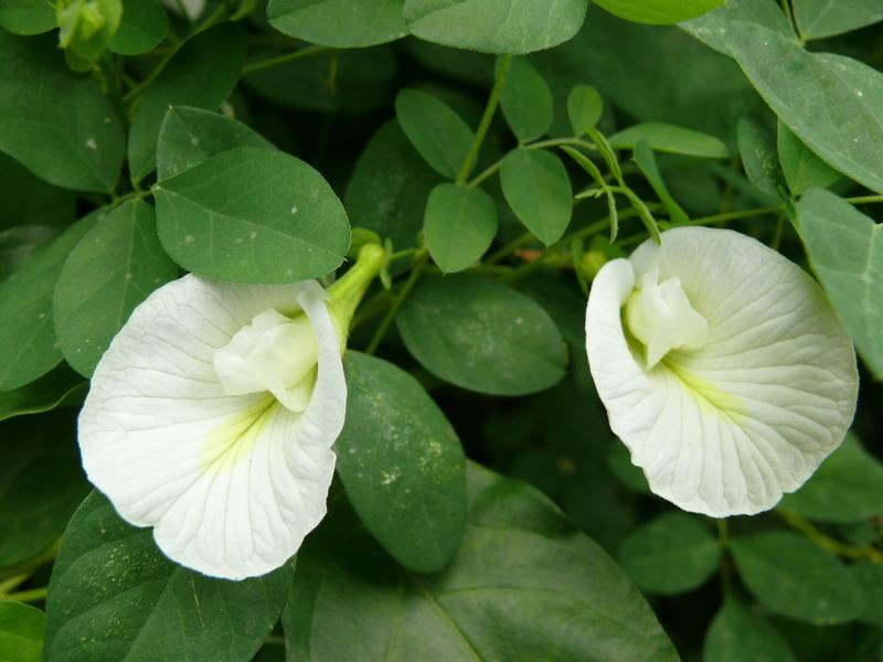 ดอกอัญชัญขาว 30 เมล็ด/ซอง